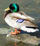 Title: Mallard on Cooksville CreekNikon D70s Digital SLR