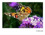 Title: Painted Lady and Purple flowersSony Cybershot DSC-P150