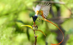 Title: bird of Paradise (asian)Cannon 40D