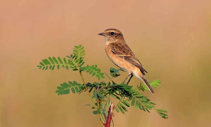 The Pied Bushchat