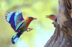 Title: The Indian Roller
