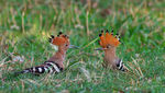 Title: The Hoopoe