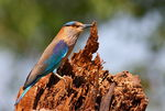 Title: indian-roller_pose