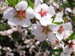 Title: Almond tree flowersKodak EasyShare CX7430