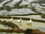 Title: 3 ducks in rice field