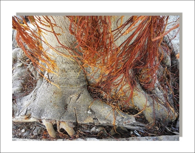 trunk and aerial roots
