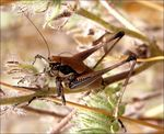 Title: Long-horned Grasshopper
