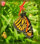 Title: The monarch butterfly