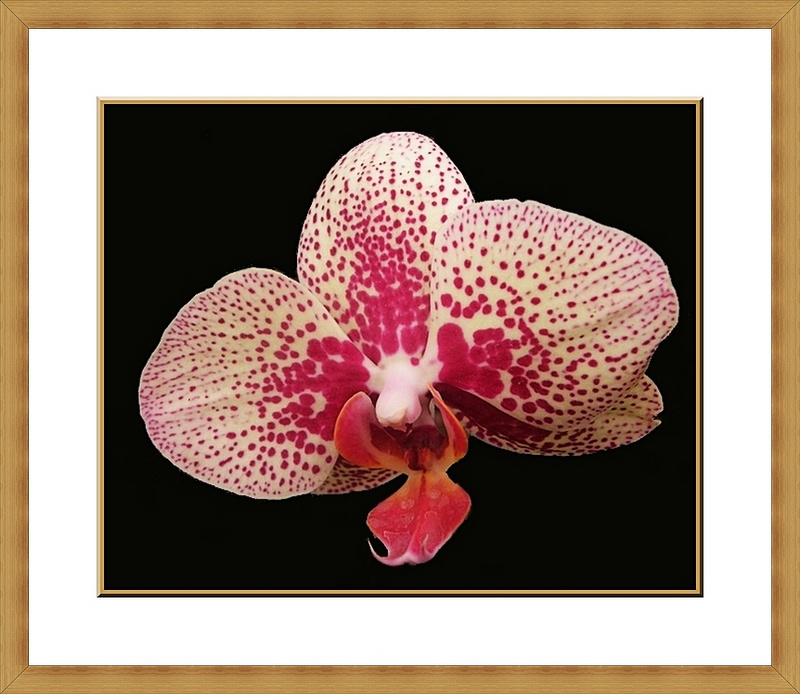Spotty pink orchid