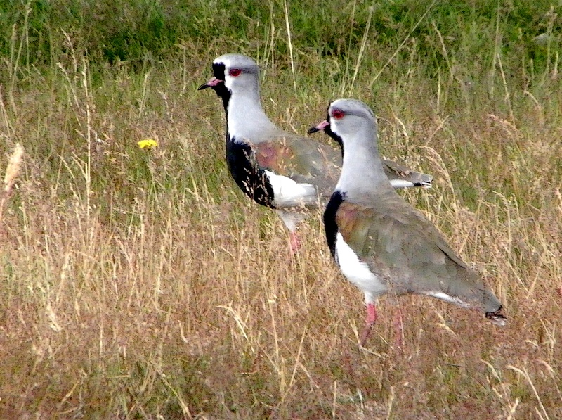 Southern Lapwings