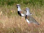 Title: Southern Lapwings