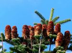 Title: Red pine cones