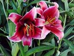 Title: Two Lilies