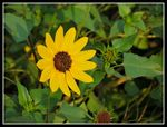 Title: Sunflower....