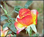 Title: Rose multi-colored