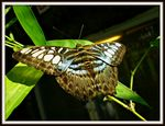 Title: The Clipper (Parthenos sylvia)