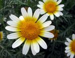 Title: White and Yellow...Daisy