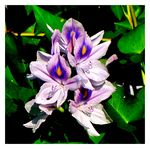 Title: A Cluster of Water HyacinthCanon  Powershot SX10IS
