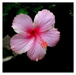 Title: Soft Pink HibiscusCanon  Powershot SX10IS
