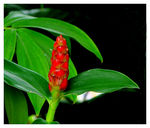 Title: Red Ginger LikeCanon  Powershot SX10IS