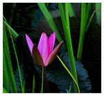 Title: Waterlily Among  Reed