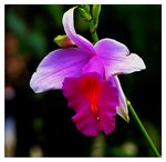 Title: Highland Wild OrchidCanon  Powershot SX10IS