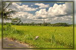Title: Rice Fields 08Canon EOS 7 D