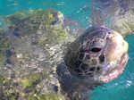Title: Turtle on Curacao