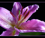 Title: A lily dressed in pink...panasonicDMC TZ3