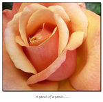 Title: A 'peach 'of a peach rose...panasonicDMC TZ3