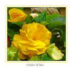 Title: Mellow yellow begonias...for my dadpanasonicDMC TZ3