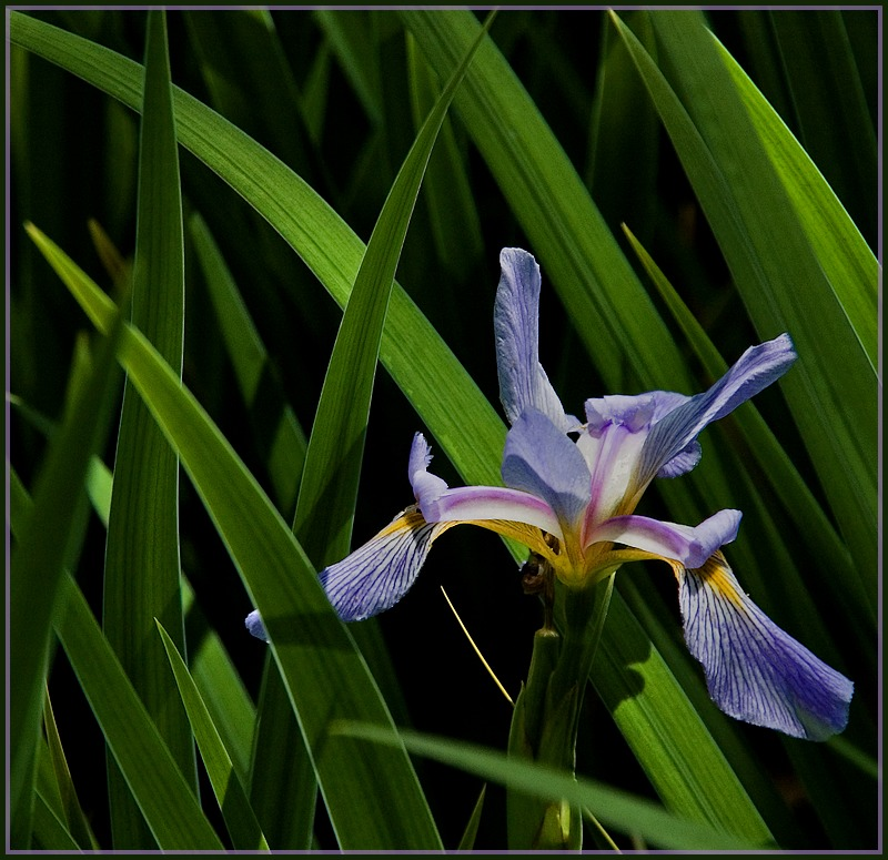 From the Iris gardens at Swan Lake