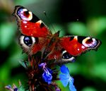 Title: Peacock Butterfly