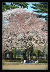 Title: Eating under cherry blossomsNikon D-70s