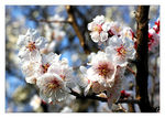 Title: Plum trees: first flowers of the year