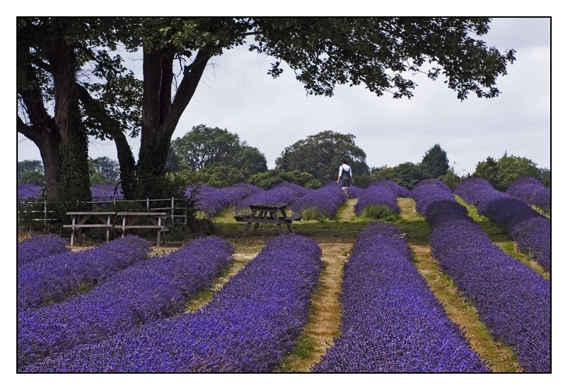 Mayfield Lavender Farm 2