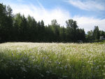 Title: Field of Daises