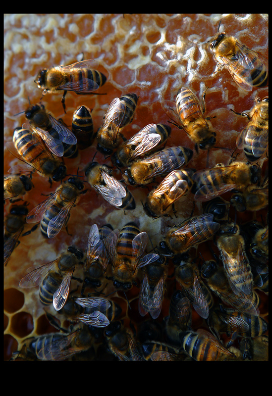 'Hobbies' Bees and Honey