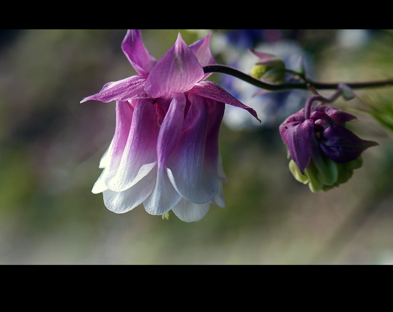 Aquilegia's Angel
