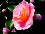 Title: the first Camelia