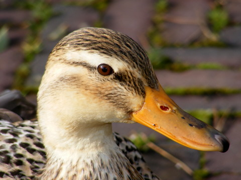 very curious duck