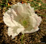 Title: small poppy