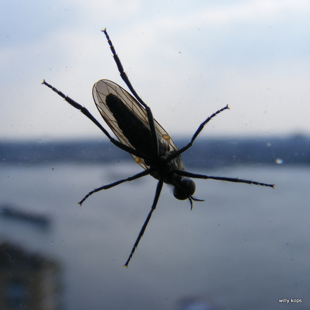 first mosquito