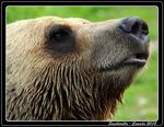 Title: Bear Necessities�NIKON D-80 DSLR