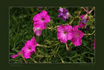 Title: Pink Flowers..