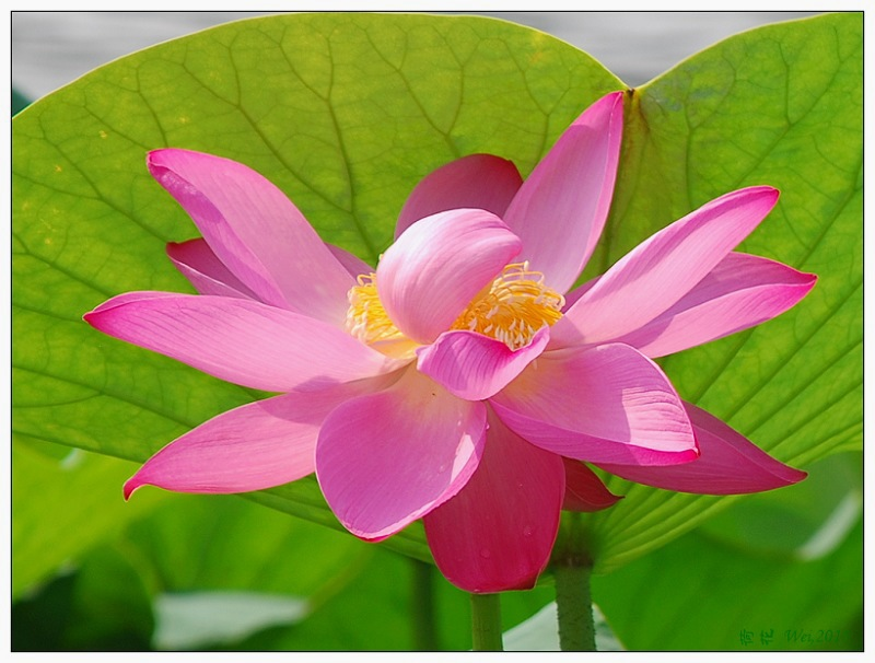 another lotus