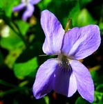 Title: Spring Flowers - Viola RivinianaCanon G9
