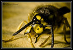 Title: Hungry WaspNikon D300