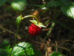 Title: wild strawberryCanon PowerShot SX100 IS