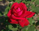 Title: Love like a red red rose